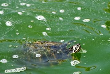 Red necked Slider Turtle Swimming