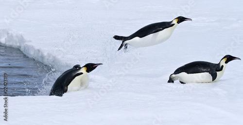 Plexiglas Antarctica Emperor penguins (Aptenodytes forsteri)