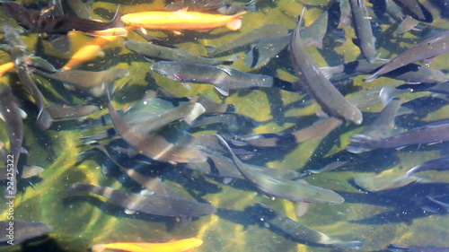 group of trout fish in water, focus on the fish