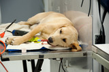 labrador going under anesthesia poster