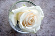 white rose, single flower