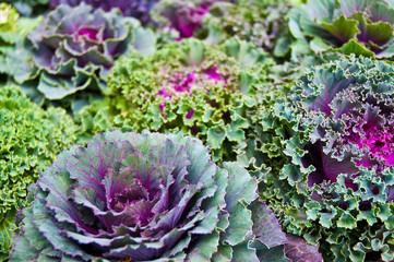 Zierkohl, Brassica oleracea, grün, violett, Kohlsorten