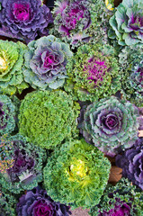 Zierkohl, Kohlarten, grün, violett, Herbst