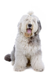 Old English Sheepdog (bobtail) isolated on a white background