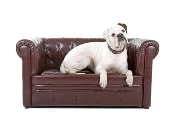 white boxer up on a coach