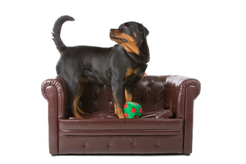 Rottweiler dog and a green ball up on a armchair