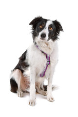 black and white border collie dog looking at camera