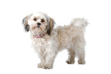 Maltese dog isolated on a white background poster
