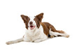 brown and white border collie dog isolated on white