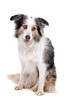 front view of a border collie dog isolated on a white background