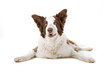 front view of a brown and white border collie dog