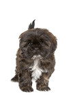 cuddly shih tzu dog isolated on a white background poster