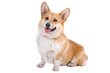 front view of a Welsh Corgi Pembroke dog sticking out tongue poster