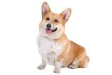 la facciata di un cane gallese Corgi Pembroke Mettere fuori la lingua
