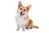 Welsh Corgi Pembroke dog sticking out tongue poster