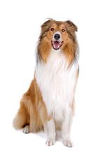 Rugueuse colley (écossais) Scottish berger (Lassie)