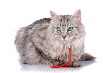 norwegian long haired forest cat