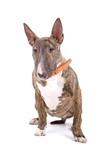 English Bull Terrier, Bully, Gladiator resting poster