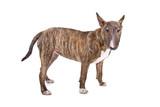 English Bull Terrier, Bully, Gladiator looking at camera poster