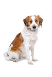 kooiker dog-kooikerhondje isolated on a white background