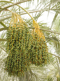 Green unripe dates bunches poster