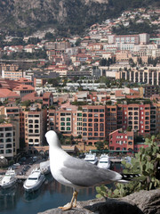 Seagull above harbour at Monte Carlo
