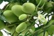 gros plan sur lilas des Indes, neem, fruits et fleurs