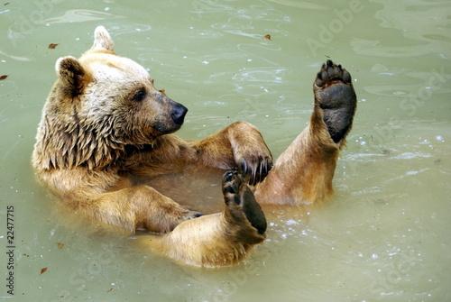 schwimmender Bär