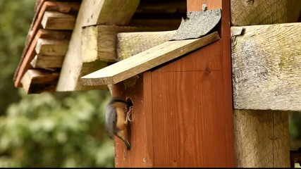 Nuthatch feeding family, other parent singing loudly