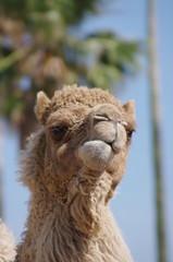 ラクダの顔のクローズアップ