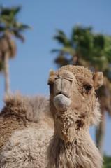 ラクダの正面顔