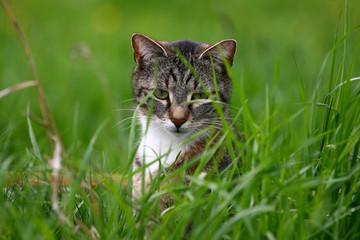 Katze auf Mäusejagd