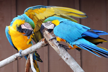 Macaws Together