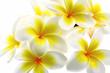 fleurs jaunes de frangipanier, fond blanc