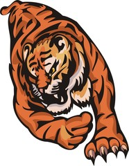 Furious tiger in a jump.Big cats.