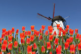 Fototapety Dutch landscape of  tulips and windmill in background