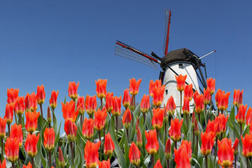 Dutch landscape of  tulips and windmill in background