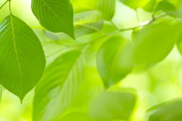 新緑の桜の葉