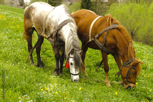 Two horses are grazing