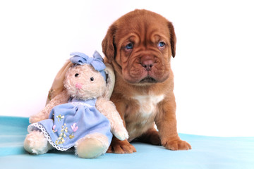 Cute Dogue De Bordeaux puppy is sitting near soft rabbit toy