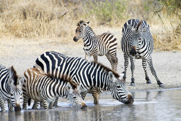 Zebra Watering Hole