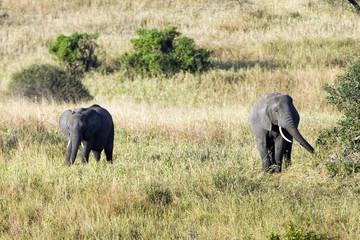 Wild Elephants in Africa