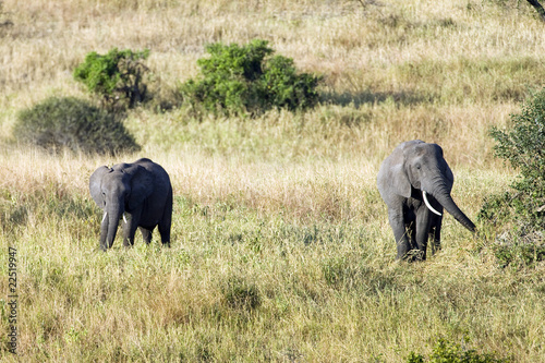 Wild Elephants in Africa