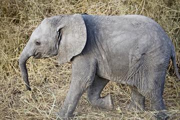 wild baby elephant