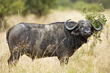 Cape Buffalo in Africa