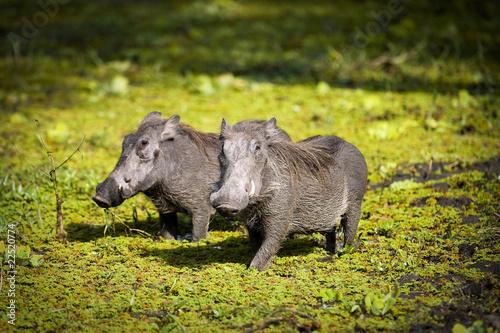 Wild Warthogs