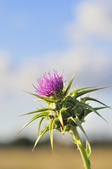 Milk Thistle Outdoors