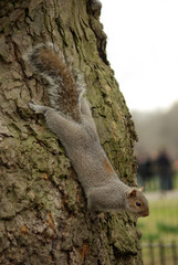 squirrel head down on tree trunk in london