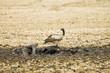 Wild African Vulture