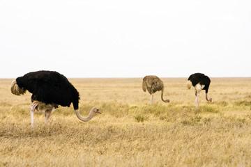 Wild African Ostrich